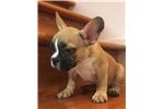 Picture of French bulldog male ready to go home!
