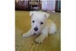West Highland White Terrier - Westie for sale
