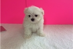 Picture of Dylan Tiny Teacup Male Maltese