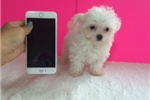 Picture of Prince Tiniest Male Maltese Puppy Available