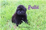 Bullit | Puppy at 25 weeks of age for sale