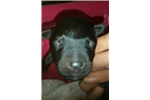 Black Male | Puppy at 7 weeks of age for sale