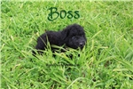 Boss | Puppy at 12 weeks of age for sale