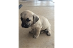 Picture of Adorable NKC Black Mouth Cur Puppies