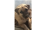 Black Mouth Cur for sale