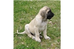 Picture of Champion sired Fawn female Mastiff - Pink