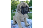 Picture of Champion sired Fawn Male Mastiff - light green