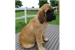 Picture of Champion sired male apricot Mastiff - Gold