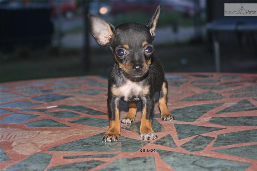 chihuahua puppy for sale near mcallen    edinburg  texas