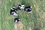 Farm raised border collie  | Puppy at 10 weeks of age for sale