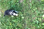 Picture of Farm raised border collie