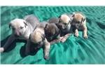 Picture of Irish Wolfhound pups