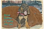 Picture of AKC Bloodhound. Bruce Banne Limited-$500 Full-$600