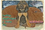 Picture of AKC Bloodhound. Skywalker Limited-$500 Full-$600