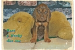 Picture of AKC Bloodhound. Haze Limited-$600 Full-$750