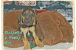 Picture of AKC Bloodhound. Oaktown Limited-$500 Full-$600