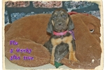 Picture of AKC Bloodhound. Flo Limited-$600 Full-$700
