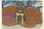 Picture of AKC Bloodhound. Kali Mist Limited-$600 Full-$700