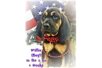 Picture of AKC Bloodhound. Willie Limited-$500 Full-$600