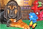 Picture of AKC Bloodhound. Golden Limited-$500 Full-$600