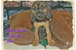 Picture of AKC Bloodhound. Girl Scout Limited-$600 Full-$700