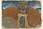 Picture of AKC Bloodhound. Silver Limited-$500 Full-$600