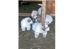 Picture of AKC Great Pyrenees puppy Female