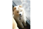 Picture of My Chow Chow Puppy Prince Jackson