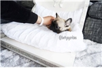 Picture of mini french bulldog for sale