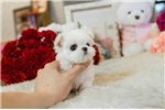 Picture of Mini Maltese for sale