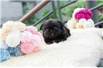 Picture of Pekingese for sale