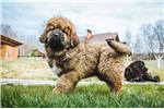 Great Tibetan Mastiff puppy | Puppy at 48 weeks of age for sale