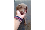 Picture of AKC Weimaraner