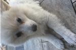 Picture of Male mini American Eskimo