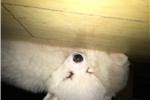 Picture of Mini American Eskimo