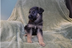 Picture of Grady, AKC