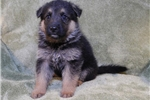 Picture of Gibbs, AKC