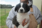 Picture of Black/white male English Shepherd puppy