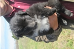 Picture of Mostly black w/white male English Shepherd puppy