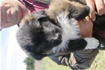 Picture of Dark Sable male English Shepherd puppy