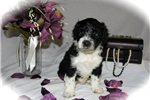 Picture of GORGEOUS PWD, AKC, Meet Brooke, female