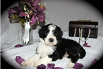 Picture of GORGEOUS PWD, AKC, Meet Hali, female