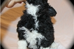 Picture of Portuguese Water Dog Fun Loving Cooper