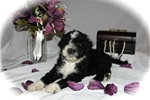 Picture of GORGEOUS PWD, AKC, Meet Marina, female