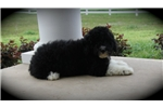 Picture of Portuguese Water Dog Fun Loving Cooper