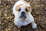 Picture of Grand Champion Sired Olde English Bulldogge Puppy