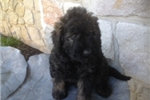 Picture of Adorable Bouvapoo Registered