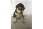 Picture of Red/White Alaskan Malamute Puppy