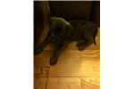 Picture of Pitbul/Rottweiler mix puppies for sale