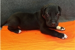 Picture of AKC Black Great Dane Puppy